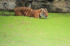 Tigre entre a Índia e a China Fotografia de Stock