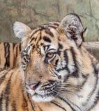 Tigre entre a Índia e a China Foto de Stock