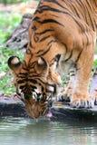 Tigre entre a Índia e a China Fotos de Stock Royalty Free