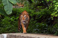 Tigre entre a Índia e a China que anda da floresta Imagem de Stock Royalty Free