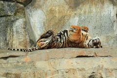 Tigre entre a Índia e a China Fotografia de Stock Royalty Free