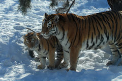 Tigre et petit animal Photo stock
