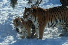 Tigre et petit animal Photo stock