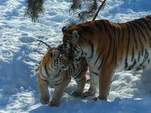 Tigre et petit animal Images libres de droits