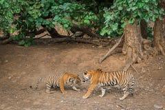 Tigre et tigresse avant le combat photographie stock libre de droits