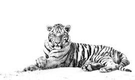 Tigre fêmea Fotos de Stock