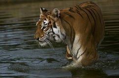 Tigre fêmea indiano Fotos de Stock