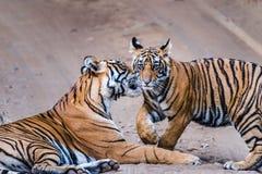Tigre fêmea Noor com filhote foto de stock