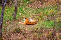 Tigre fêmea que encontra-se na terra, descansando Rússia O tigre de Amur Imagens de Stock Royalty Free