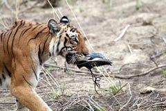 Tigre fêmea real de bengal foto de stock