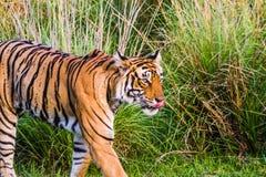 Tigre fêmea real de Bengal nomeado Krishna Foto de Stock Royalty Free