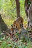 Tigre fêmea selvagem Imagem de Stock