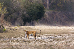 Tigre femelle sauvage, parc national de Bardia, Népal Image stock