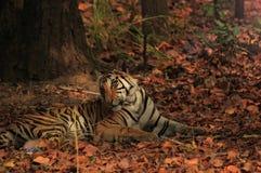 Tigre femenino que mira detrás mientras que descansa en el parque nacional de Bandhavgarh Fotos de archivo libres de regalías