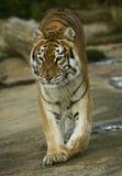 Tigre femmina 1 Fotografia Stock Libera da Diritti