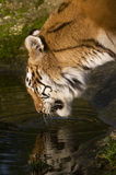 Tigre femmina bevente Fotografie Stock Libere da Diritti