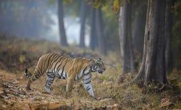 Tigre femmina che attraversa la strada Fotografie Stock Libere da Diritti