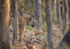 Tigre femmina che cmoing dal treeline al parco nazionale di Pench, Madhya Pradesh fotografie stock libere da diritti