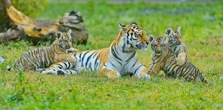 Tigre femmina con i cuccioli Tigre femmina dell'Amur con cuccioli i piccoli di tigre Lat della tigre di Ussuri o dell'Amur Panthe fotografia stock