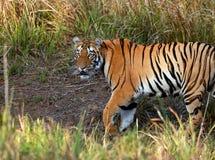 Tigre femmina del telio sul vagare in cerca di preda Immagine Stock