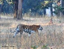Tigre femmina di Colarwali immagini stock