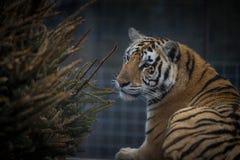 Tigre femmina nel santuario 3 Immagini Stock Libere da Diritti