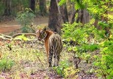 Tigre femmina nella foresta Fotografie Stock
