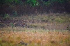Tigre femmina sul vagare in cerca di preda immagine stock
