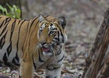 Tigre femminile che guarda intorno alla ricerca di una preda Immagine Stock Libera da Diritti