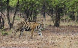 Tigre femminile che si muove intorno nella giungla Fotografia Stock Libera da Diritti