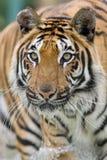 Tigre fonctionnant dans l'eau Photo stock