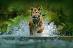 Tigre fonctionnant dans l'eau Animal de danger, tajga en Russie Animal dans le courant de forêt Grey Stone, gouttelette de rivièr Photographie stock