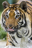 Tigre fonctionnant par l'eau Photo stock