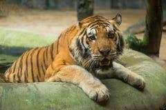 Tigre fresco sí mismo en una piscina Imágenes de archivo libres de regalías