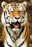 Tigre frontal cheio fotografia de stock royalty free