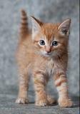 Tigre-gattino dello zenzero Fotografia Stock Libera da Diritti