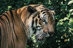 Tigre in giardino zoologico fotografia stock libera da diritti