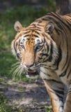 Tigre grande Imagen de archivo libre de regalías