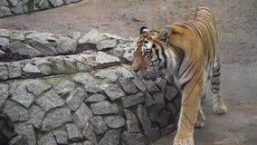 Tigre grande en parque zoológico almacen de video