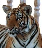 Tigre grande, Tailandia Foto de archivo