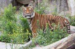 Tigre hermoso Imágenes de archivo libres de regalías