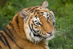 Tigre hermoso Imagenes de archivo