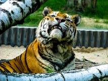 Tigre hermoso con los dientes - detalle en la cabeza del tigre entre los árboles imagen de archivo libre de regalías