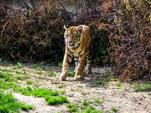 Tigre hermoso en el día soleado - cuerpo entero fotografía de archivo libre de regalías