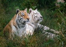 Tigre indiana e tigre bianca Fotografia Stock