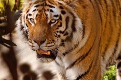 Tigre indio Foto de archivo