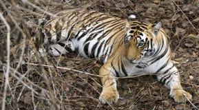 Tigre indio en selva fotos de archivo libres de regalías