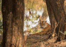 Tigre indio real foto de archivo