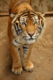 Tigre indo-chinois Photo libre de droits