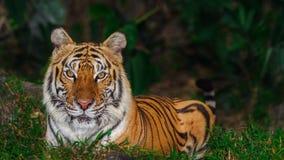 Tigre indochino del tigerAmur que mira en la cámara Fotos de archivo